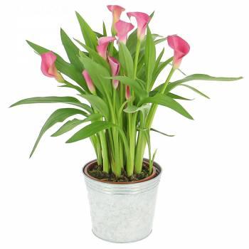 Plante fleurie - Majestueux arums