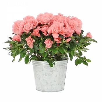 Plante fleurie - Azalée