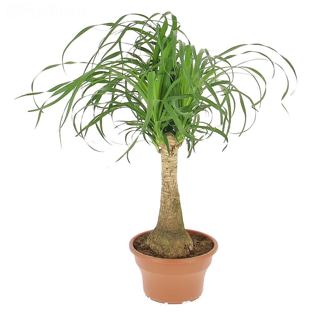 Livraison beaucarnea plante verte foliflora for Commande plantes par correspondance
