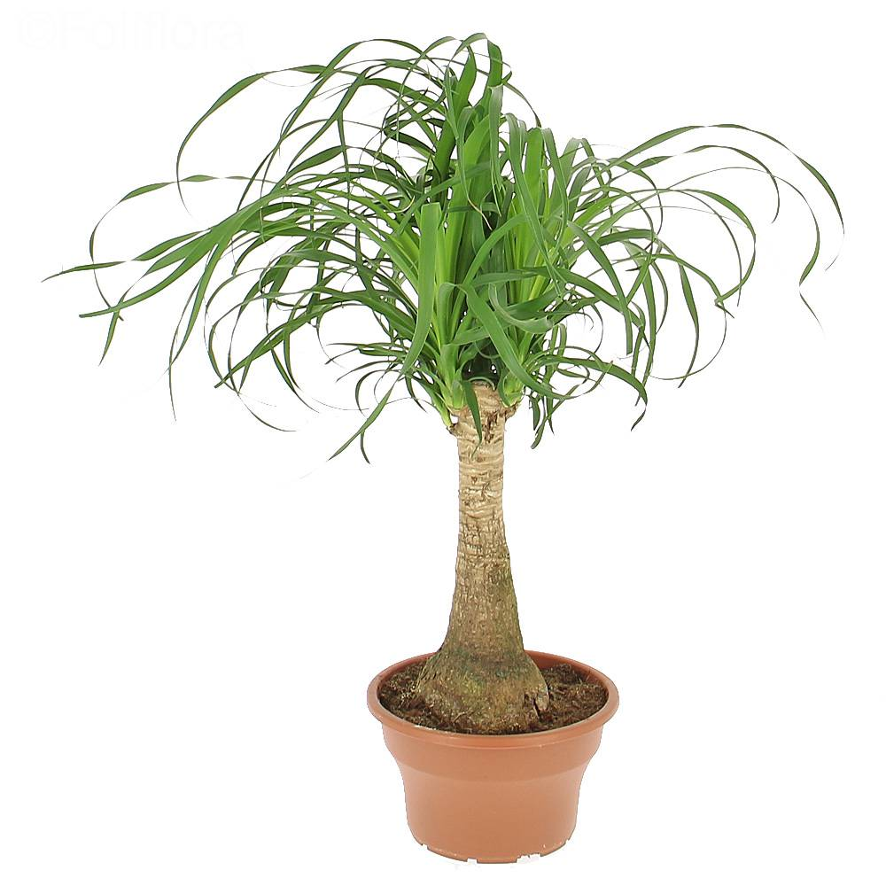 livraison beaucarnea plante verte foliflora. Black Bedroom Furniture Sets. Home Design Ideas