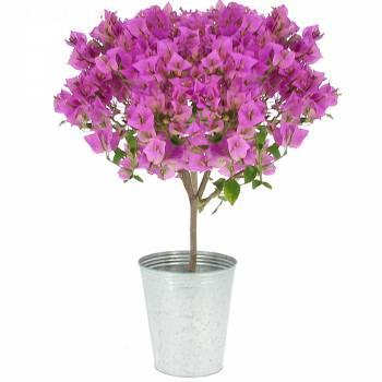 Plante fleurie - Bougainvillier Flamboyant