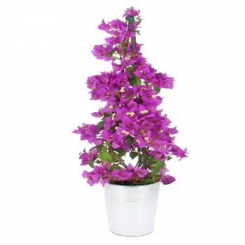 Plante fleurie - Bougainvillier Pyramide