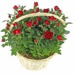 brassee-roses