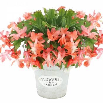 Plante - Cactus d'hiver