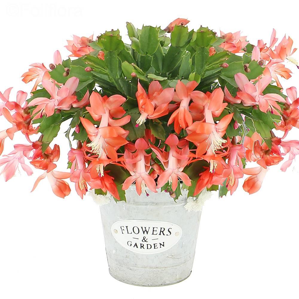 livraison cactus d 39 hiver plante fleurie foliflora. Black Bedroom Furniture Sets. Home Design Ideas