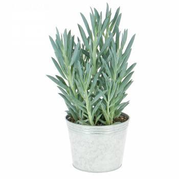 Plante verte - Curio ficoides