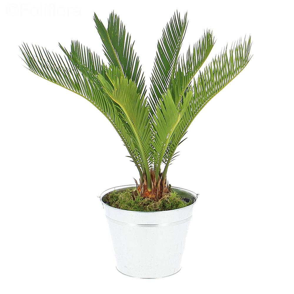Livraison palmier de la paix - Plante verte - Foliflora