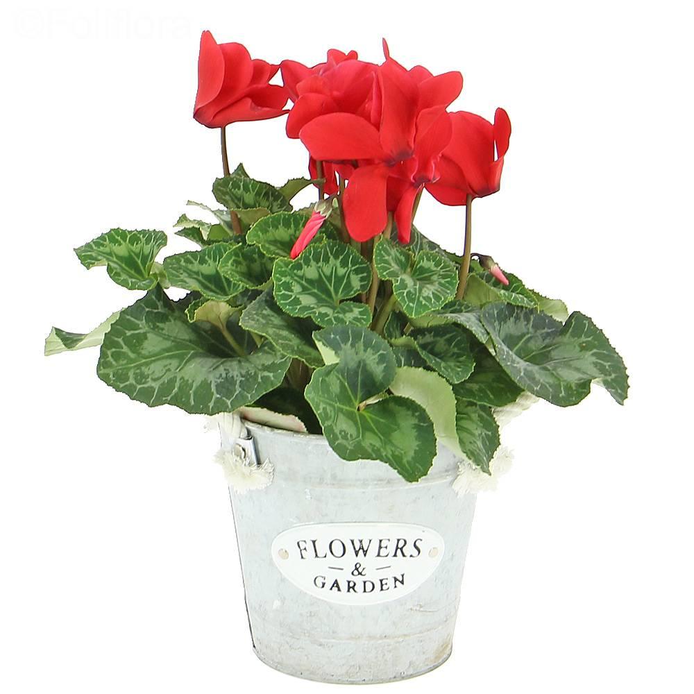 Livraison cyclamen d 39 automne plante fleurie foliflora for Livraison plantes exterieur