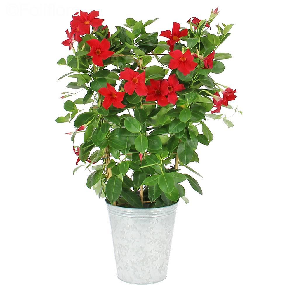 livraison dipladenia jasmin du chili plante fleurie foliflora. Black Bedroom Furniture Sets. Home Design Ideas