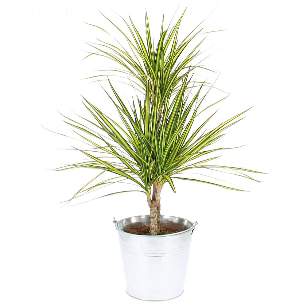 cdn.foliflora.fr/photos/dracena.jpg