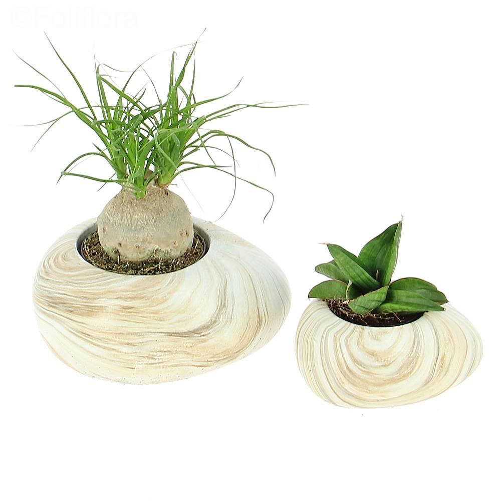Livraison duo de succulentes mini plante verte foliflora for Mini plante verte