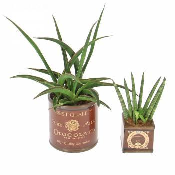 Plante verte - Duo de succulentes