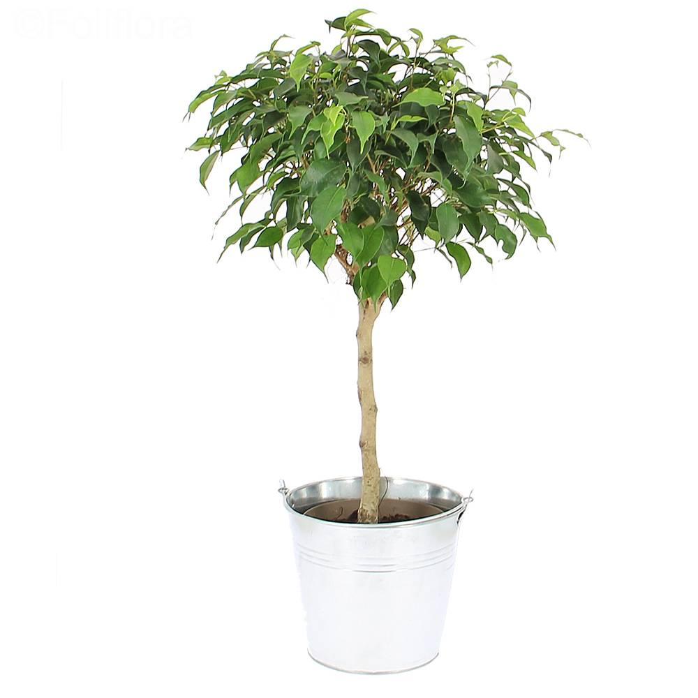 livraison ficus tige plante verte foliflora. Black Bedroom Furniture Sets. Home Design Ideas