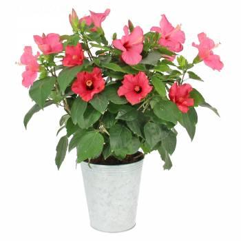 Plante fleurie - Hibiscus