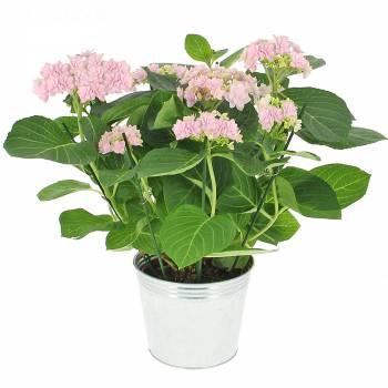 Plante fleurie - Hortensia Rose