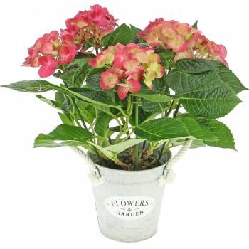 Plante - Hortensia Rose