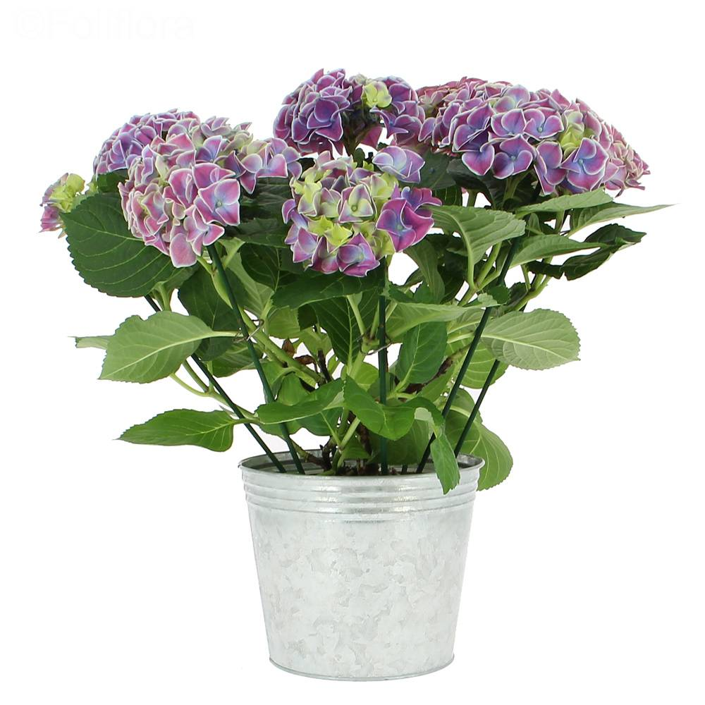 livraison hortensia bleu plante fleurie foliflora. Black Bedroom Furniture Sets. Home Design Ideas