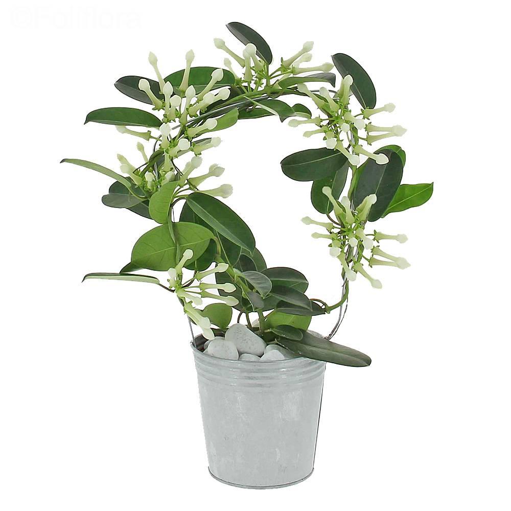 livraison jasmin de madagascar plante fleurie foliflora. Black Bedroom Furniture Sets. Home Design Ideas