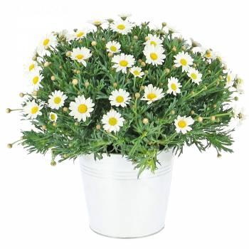 Plante fleurie - Marguerites de printemps