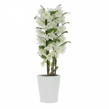 - Orchidée Dendrobium