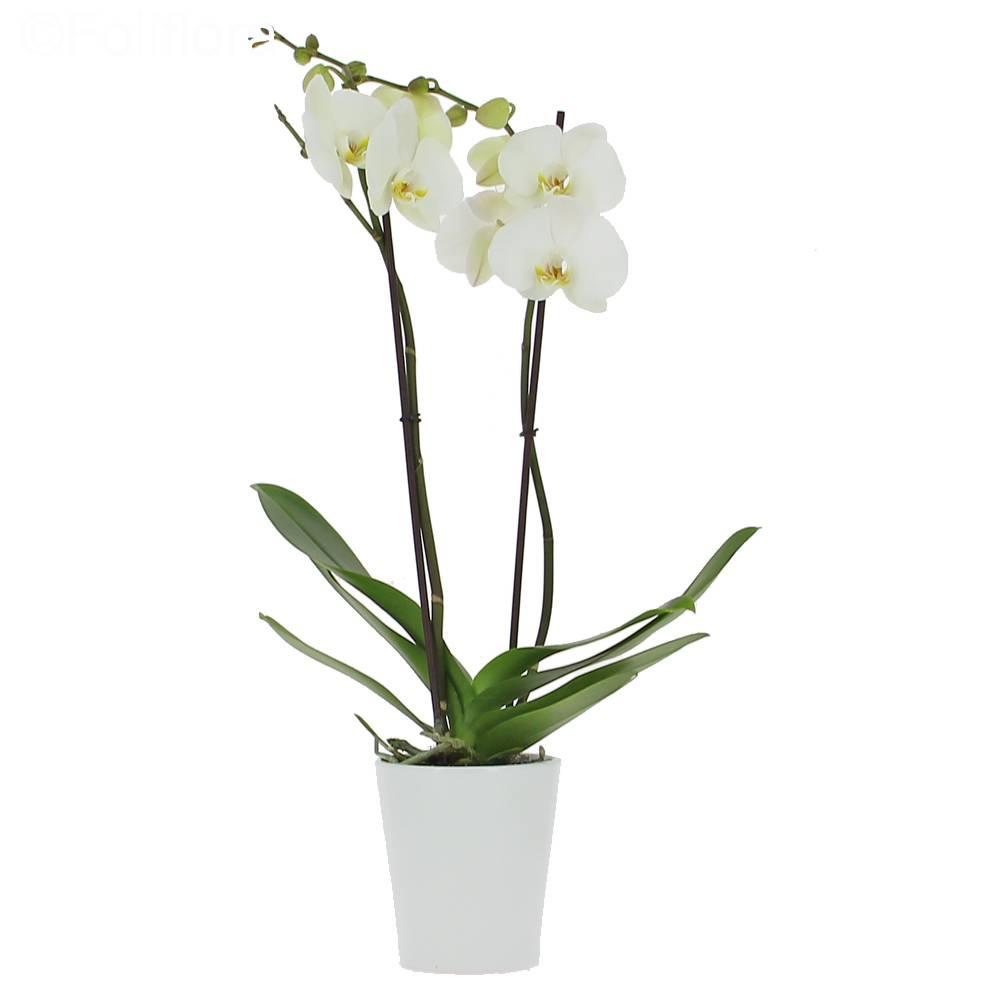 livraison orchid e de l 39 amour 2 branches orchid e foliflora. Black Bedroom Furniture Sets. Home Design Ideas