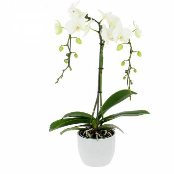 Orchidée - Orchidée Parapluie