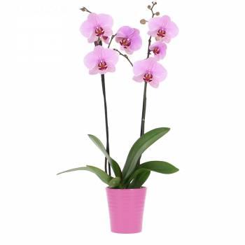 Tous les produits - Orchidée Rose Intense (2 branches)