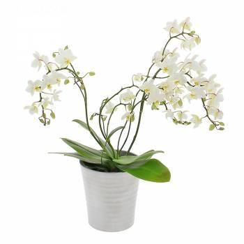- Orchidée Sauvage