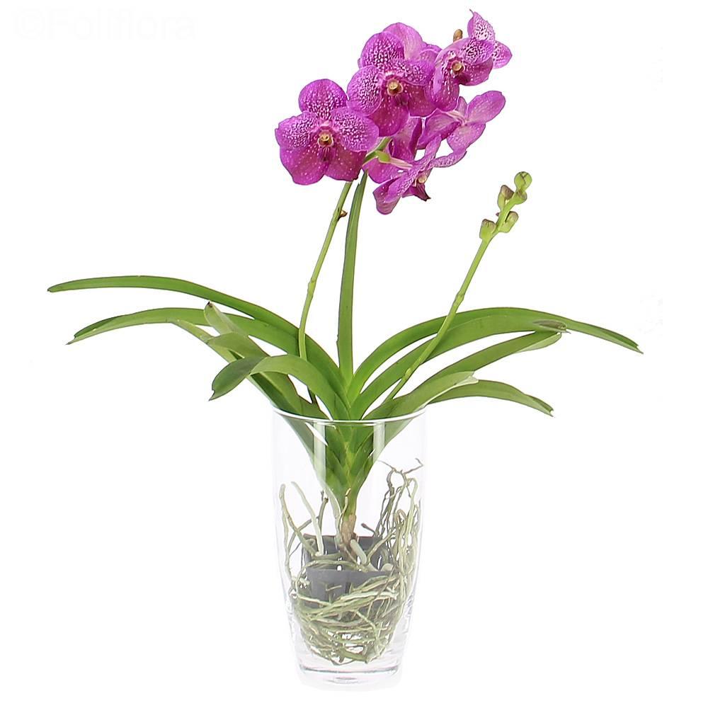 livraison orchid e vanda vase offert orchid e foliflora. Black Bedroom Furniture Sets. Home Design Ideas