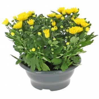 Plante - Jeune Chrysanthème