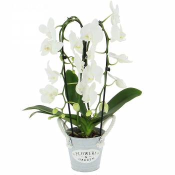 Orchidée - Phalaenopsis Cascade