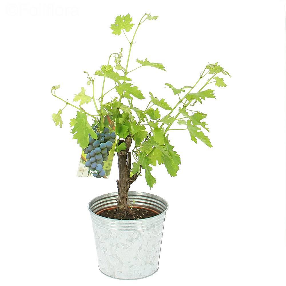 Livraison pied de vigne fruitier foliflora - Pied de vigne en pot ...