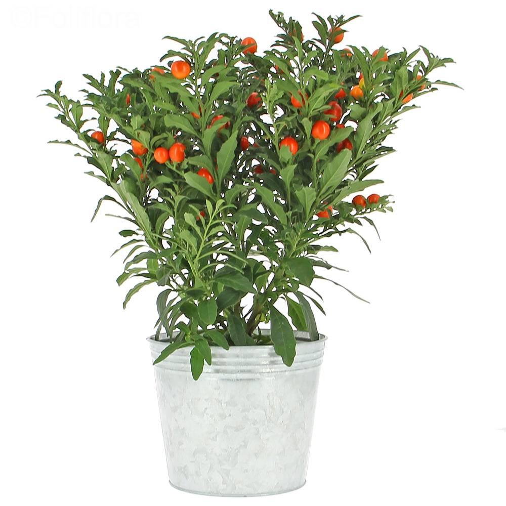Livraison pommier d 39 amour plante fleurie foliflora - Pommier d amour entretien ...