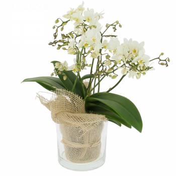 Orchidée - Ravissante Orchidée