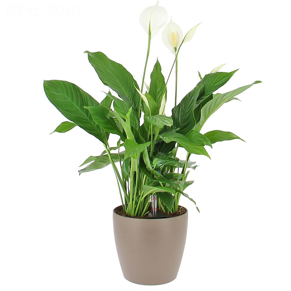 livraison spathiphyllum en bac r serve d 39 eau plante de bureau foliflora. Black Bedroom Furniture Sets. Home Design Ideas