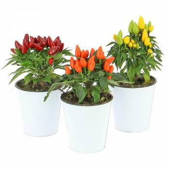 Plante - Piments décoratifs
