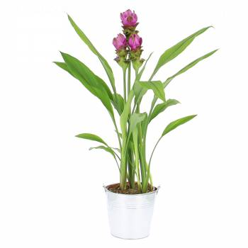 Plante fleurie - Tulipes Thaïlandaises
