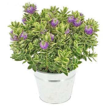 Plante fleurie - Véronique Panachée