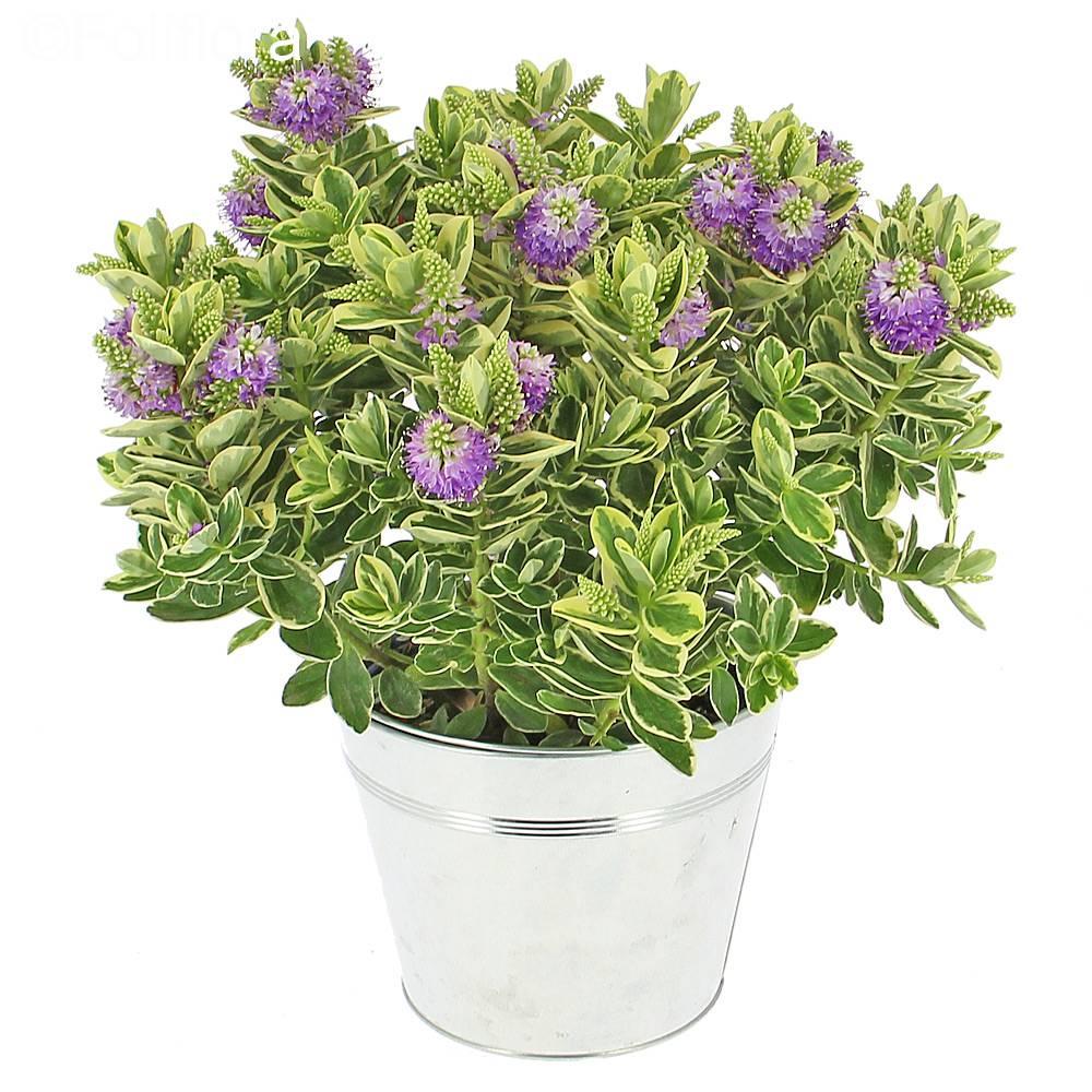 Livraison v ronique panach e plante fleurie foliflora for Commande de plantes