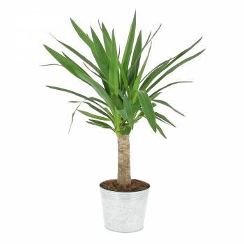 Plante - Yucca