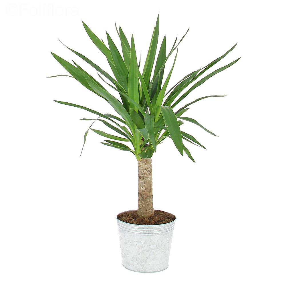 livraison yucca plante verte foliflora