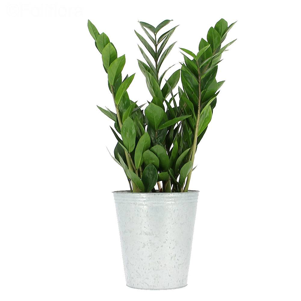 livraison zamioculcas plante verte foliflora. Black Bedroom Furniture Sets. Home Design Ideas