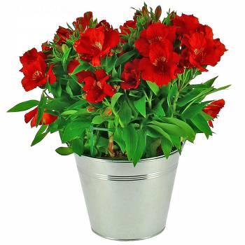 Plante fleurie - Lys des Incas Alstroméria