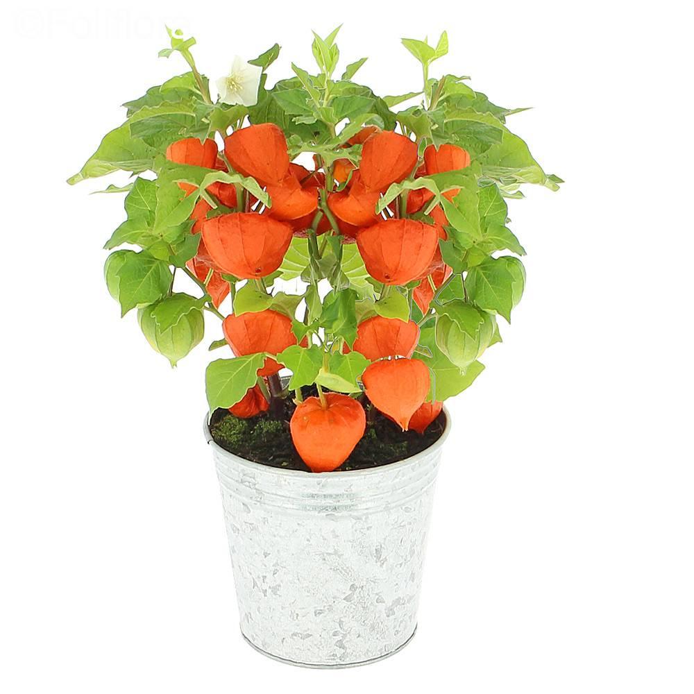 Livraison amour en cage plante fleurie foliflora - Fruit cage d amour ...