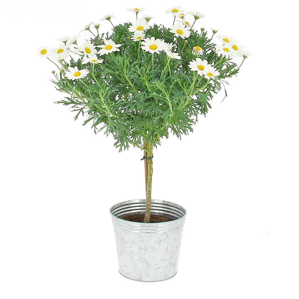 Livraison arbre de marguerites plante fleurie foliflora for Commande plantes par correspondance