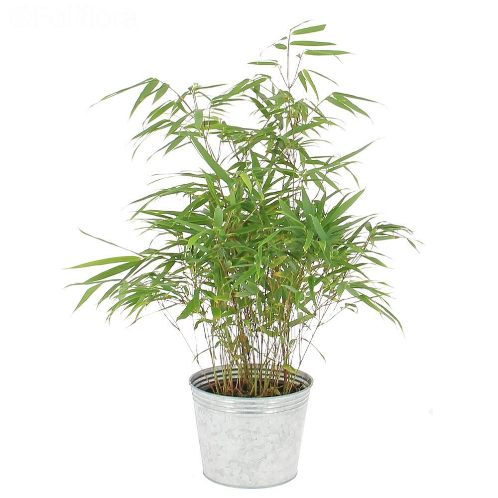 livraison bambou plante verte foliflora
