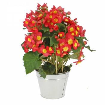 Plante fleurie - Bégonia Valentin Pink