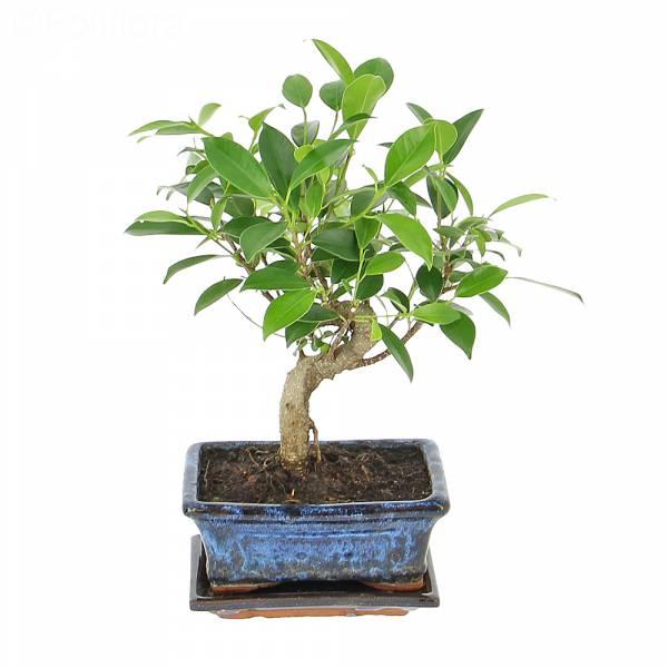livraison bonsa sacr plante verte foliflora. Black Bedroom Furniture Sets. Home Design Ideas