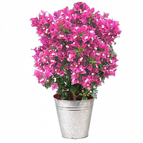 bougainvillier-plante