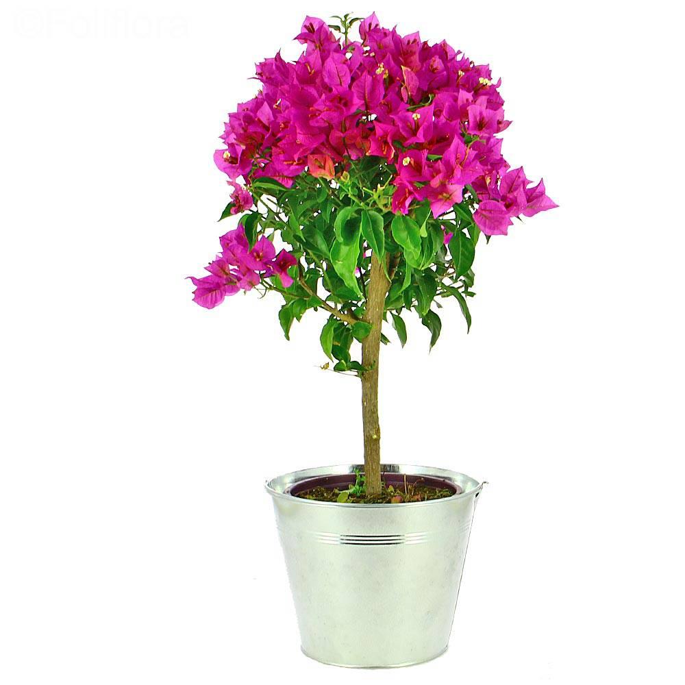 Livraison bougainvillier tige - Plante fleurie - Foliflora